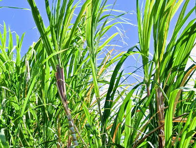 Sugar Cane Research Seeding Eco-Future